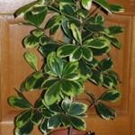 korinocarpus