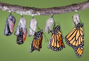 babochka monarchs
