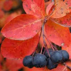 арония черноплодная рябина