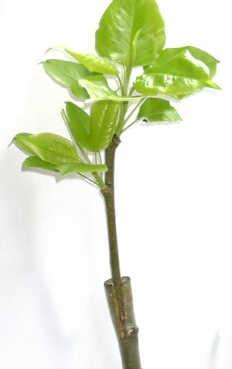 Зимняя прививка плодовых деревьев
